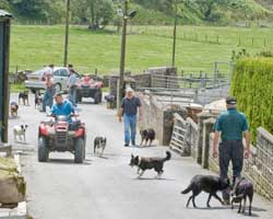 sheep safely in the pens, the dogs and shepherds relaxing
